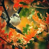 Long-tailed tit Aegithalos caudatus sits in the autumn foliage.  Royalty Free Stock Photography