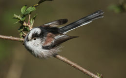 Long-tailed Tit Aegithalos caudatus sitting on a small branch. Stock Photo