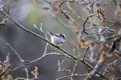 Long Tailed Tit (Aegithalos caudatus). Spotted in National Botanic Gardens, Dublin Royalty Free Stock Image