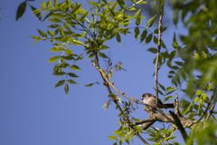 Long Tailed Tit (Aegithalos caudatus). Spotted outdoors in Santry, Dublin Royalty Free Stock Photography