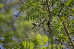 Long Tailed Tit (Aegithalos caudatus). Spotted outdoors in Santry, Dublin Stock Photos