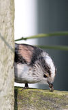 Long-tailed tit Aegithalos caudatus Stock Images