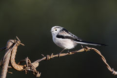 Long tailed tit, Aegithalos caudatus Stock Images