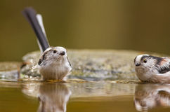 A Long-tailed tit bathing Royalty Free Stock Images