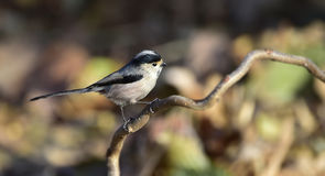 Long-tailed Tit Royalty Free Stock Image