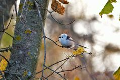Long-tailed tit. Bird is very small, it weighs only 10 grams Royalty Free Stock Photo