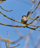 The Long-tailed Tit on a branch Stock Photos