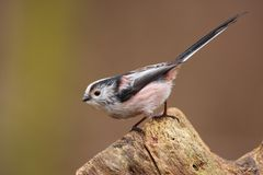 Long tailed tit. On branch Stock Photography