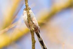 Long-tailed tit on branch Aegithalos caudatus Cute little Bird. Wildlife stock image