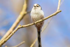 Long-tailed tit on branch Aegithalos caudatus Cute little Bird. Wildlife royalty free stock photos