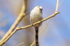 Long-tailed tit on branch Aegithalos caudatus Cute little Bird. Wildlife stock photo