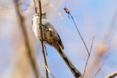 Long-tailed tit on branch Aegithalos caudatus Cute little Bird. Wildlife royalty free stock photo