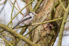 Long-tailed tit on branch Aegithalos caudatus Cute little Bird. Wildlife stock photography