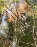 Long-tailed Tit on a branch Stock Photos