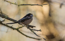 Long-tailed Tit on a branch Stock Photo