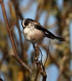Long Tailed Tit On Branch Plumped Up Against The Cold stock images