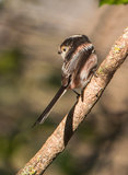 Long-tailed Tit on a branch Royalty Free Stock Photography