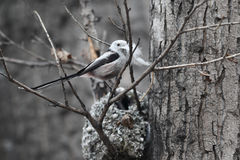 Long-tailed Tit Royalty Free Stock Images