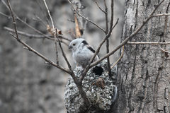 Long-tailed Tit Stock Photos