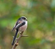 Long-tailed Tit Calling Stock Photos