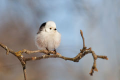 Long-tailed tit in garden Stock Photo