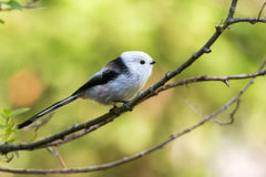 Long-tailed Tit Royalty Free Stock Photos
