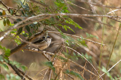 Long-tailed Tit hiding in the thicket Stock Image