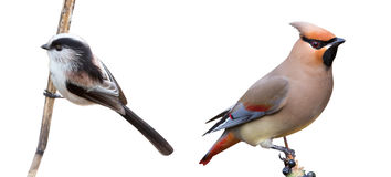 Long-tailed Tit and Japanese Waxwing in a white ba Royalty Free Stock Image