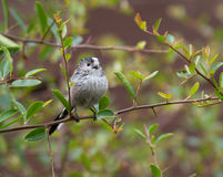 Long-Tailed Tit,Juvenile Royalty Free Stock Photos