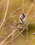 Long-tailed Tit looking up. Royalty Free Stock Image