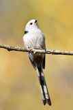 Long tailed tit in natural habitat (aegithalos caudatus) Royalty Free Stock Image