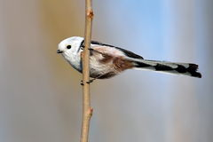 Long tailed tit in natural habitat (aegithalos caudatus) Royalty Free Stock Images