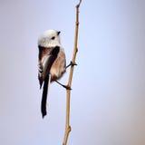 Long tailed tit in natural habitat (aegithalos caudatus) Stock Photo