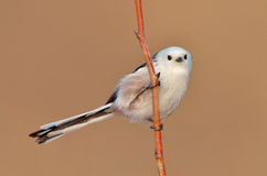 Long tailed tit outdoor (aegithalos caudatus) Royalty Free Stock Image