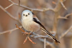 Long tailed tit outdoor (aegithalos caudatus) Stock Photo