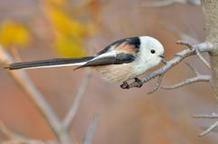 Long tailed tit outdoor (aegithalos caudatus) Stock Photography