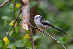 Long tailed tit outdoor (aegithalos caudatus) Royalty Free Stock Photos