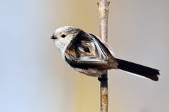 Long tailed tit outdoor (aegithalos caudatus) Royalty Free Stock Photography