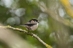 A Long-tailed tit on a perch Stock Images