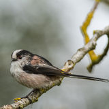 A Long-tailed tit on a perch Royalty Free Stock Image