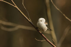 A Long-tailed tit on a perch Stock Photo
