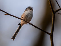 Long tailed tit perched on a branch Royalty Free Stock Photography