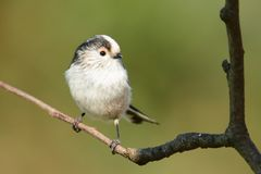 Long tailed tit perching on a branch Royalty Free Stock Images