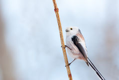 Long-tailed tit portrait Stock Photography