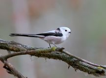 Long-tailed tit pose for me on a thin branch Royalty Free Stock Images