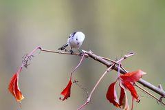 Long-tailed tit pose for me on a thin branch with a red leaves Royalty Free Stock Photos