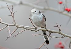 Long tailed tit sits on a branch of hawthorn with red berries Stock Image