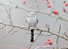 Long tailed tit sits on a branch of hawthorn with red berries Stock Images