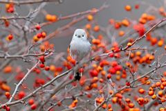 Long tailed tit sits on a branch of hawthorn with red berries Royalty Free Stock Photo