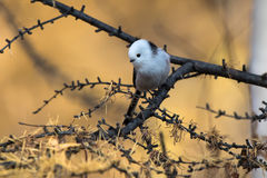 Long-tailed tit is sitting on a tree branch in autumn day Royalty Free Stock Photo